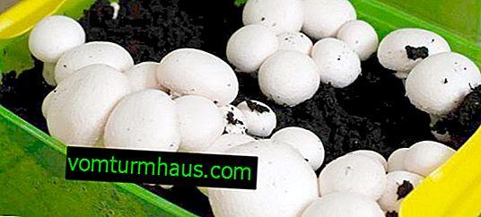 Podmienky pestovania húb doma