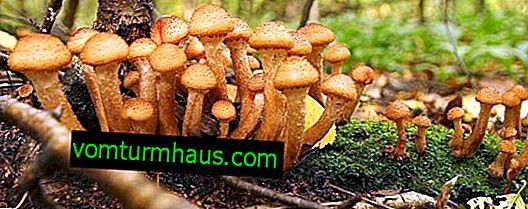 Jesenné huby: keď rastú, ako nájsť, ako stimulovať rast