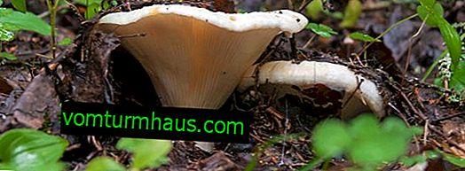 Svamp av svamp, var och på vilka platser de växer, hur och när de ska samlas