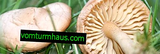 What false meadow mushrooms look like: species, where and when they grow