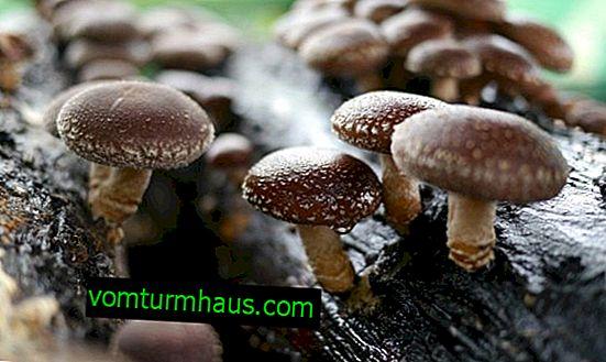 Nutzen und Schaden von Shiitake-Pilzen