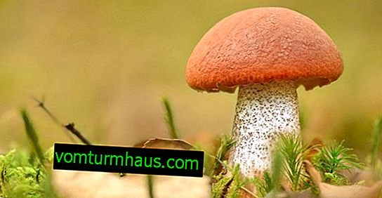 How fast boletus grow after rain