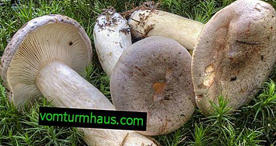 Beskrivning och funktioner för användning av svampsmoothies