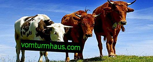 Kako napraviti i opremiti staju za krave
