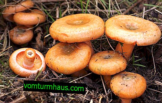 Dónde y cuándo recolectar hongos