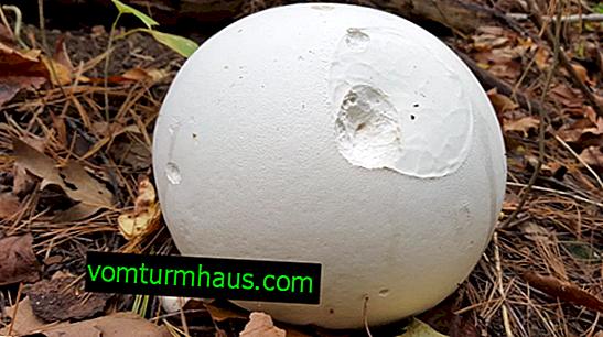 Golovach-kæmpe: en beskrivelse af svampen og funktionerne i dens anvendelse i madlavning og medicin