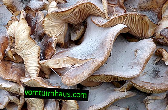 È possibile mangiare funghi di ostriche con un rivestimento bianco