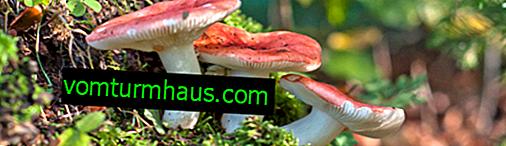 Welche Russules können gegessen werden und welche nicht