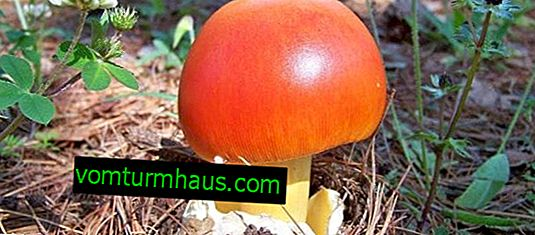 Caesar mushroom: description of where it grows and what it looks like