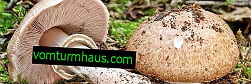 Caractéristiques de forêt champignon