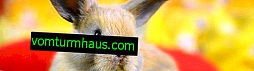 Kan der være en allergi mod kaniner, og hvordan manifesteres det?