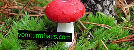 Description of russula