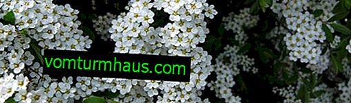 Thunberg Spirea Beskrivelse, plantning og pleje
