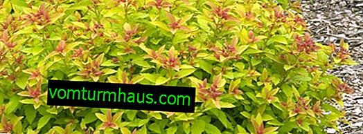 Features of Japanese Spirea Magic Carpet