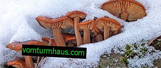 Flammulina lub grzyby zimowe: gdzie i kiedy zbiera się grzyby, jak to wygląda, jakie są korzyści i szkody