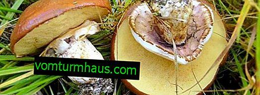 Smörsvamp: funktioner, fördelar och skador