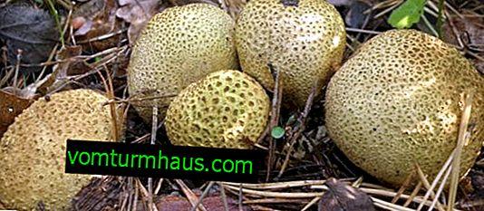 Comment distinguer un champignon imperméable de différents types de faux imperméables