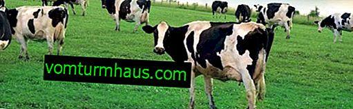 Koliko krava teži i kako izračunati njezinu težinu