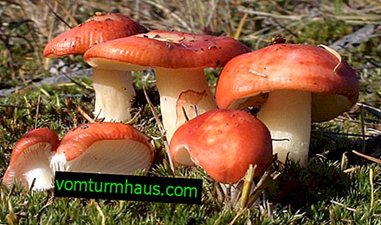 Russula svamp: beskrivning och foto, var och när de växer, fördelar och kontraindikationer