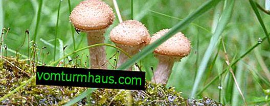 Hvordan svampe svampe vokser i skoven
