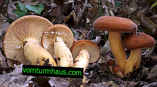 Descrição do cogumelo serralha, características da aplicação e como cozinhar
