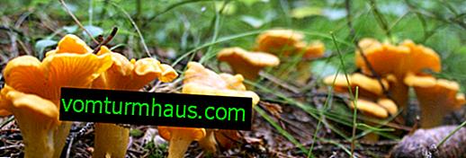Pflanzenwachstumspfifferlinge in den Vororten