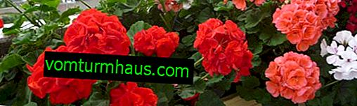 Ivy-shaped geraniums: home care