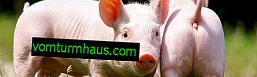 Cüce yerli domuz (mini domuz): bakım ve bakım özellikleri