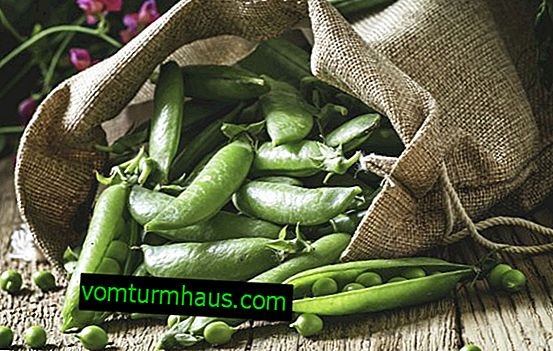 Peas: description of the plant, cultivation and care at home