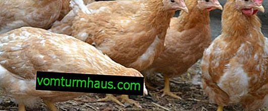 Mini-kött kycklingar: ras beskrivning, funktioner för avel och underhåll