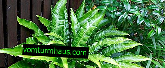 Asplenium: types and their description, features of home care