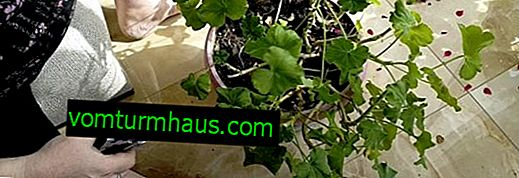 Winter geranium pruning: step by step instructions, basic rules, further care