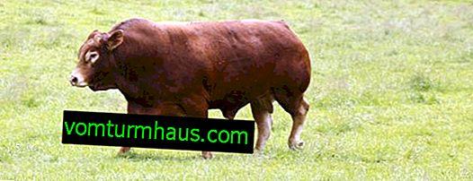 Krave limuzine: opis, njega i hranjenje