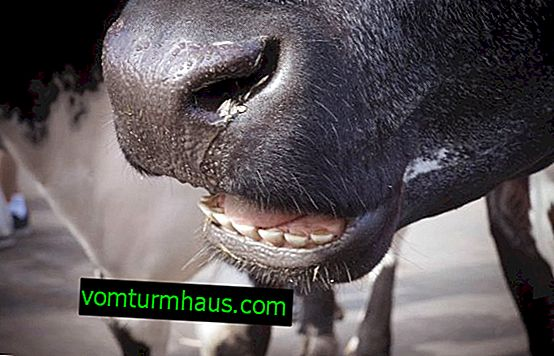Cow's teeth: their number, structure and causes of loss