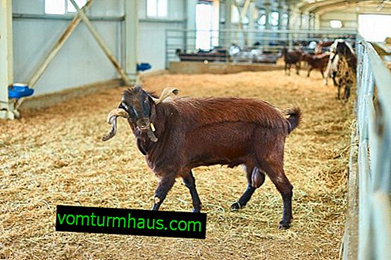 Damask goat of the Shami breed: characteristics and features of breeding at home