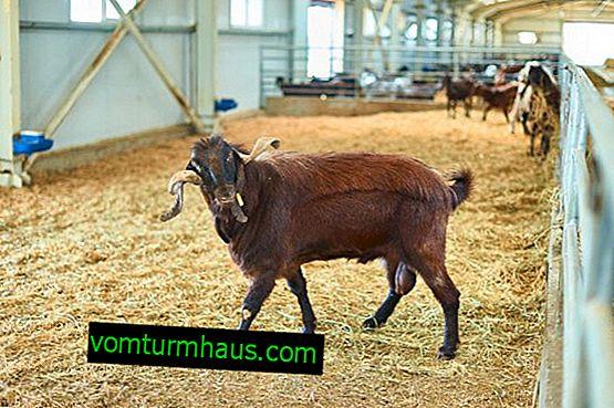 Дамаска коза от породата Шами: характеристики и особености на развъждането у дома