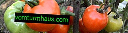 """Rajčata """"Bílá náplň"""": popis, pěstitelská zemědělská technika"""