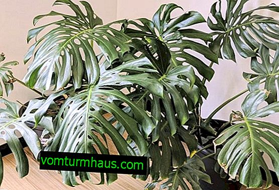 Monstera delicious: a description of the plant, care and cultivation at home
