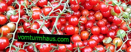 """Tomater """"Rapunzel"""": sortsbeskrivelse, dyrkning af landbrugsteknikker"""