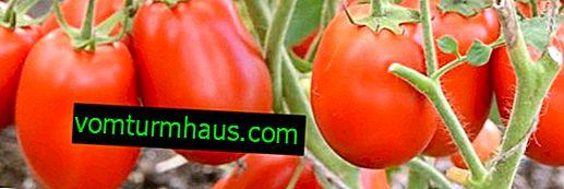 Paradajky Stolypin: opis odrody, pestovateľská poľnohospodárska technika