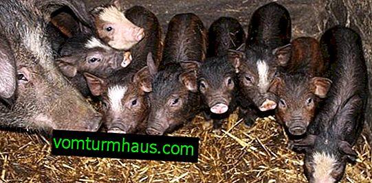 Karmal svin race: beskrivelse, funktioner vedligeholdelse, pleje og fodring