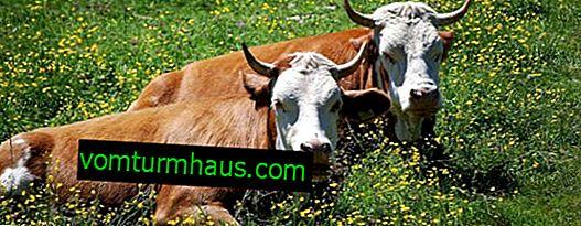 Leptospiroza pri kravah: simptomi in zdravljenje