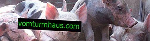 Pietrainske svinje: opis pasmine, značajke uzgoja i hranjenja