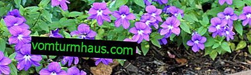 Brovallia blomma: vård och reproduktion