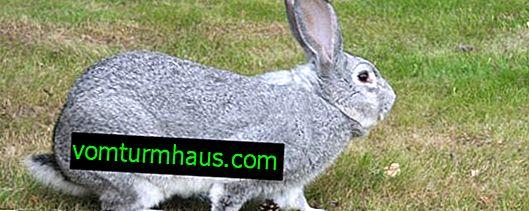 De största kaninraserna: beskrivning och egenskaper, innehåll i innehållet