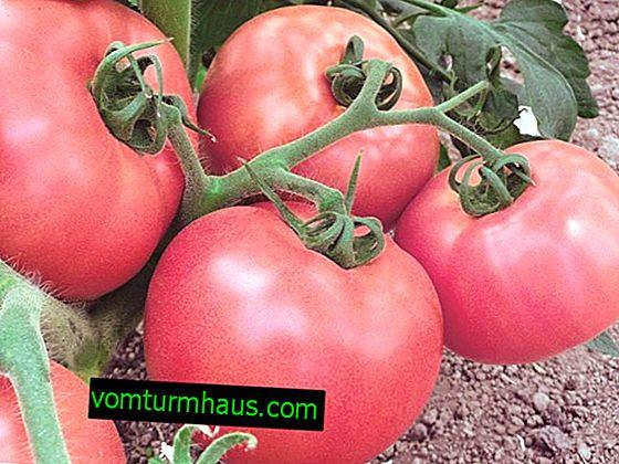 Tomates Torbay: descripción, cultivo, técnica agrícola.