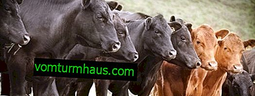 Cisticerkoza goveda: simptomi i liječenje