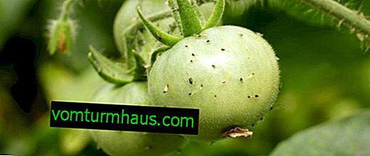 Sådan slipper man af med kim i tomater ved hjælp af kemiske og folkemæssige retsmidler