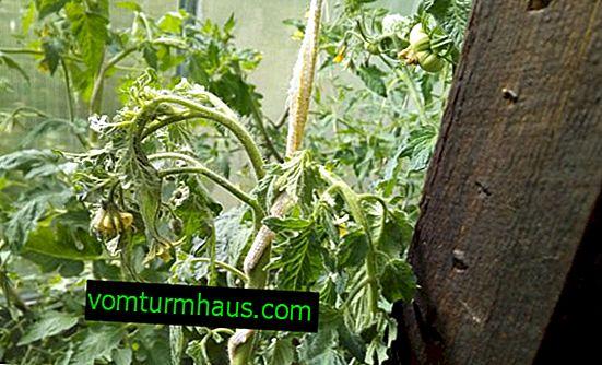 Jak zacházet s rajčatovým fusáriem