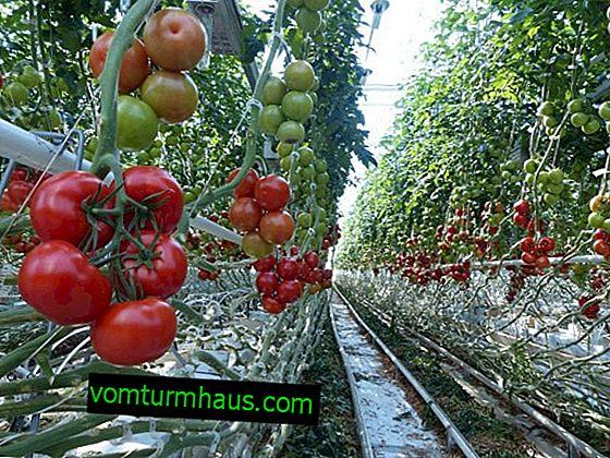 Škůdci a choroby rajčat ve skleníku: příznaky, způsoby jejich řešení